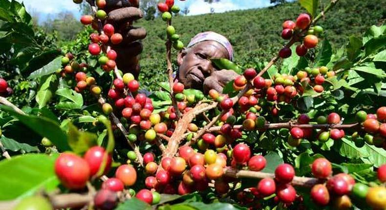 Coffee farming in Kenya. (Daily Nation)