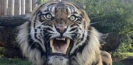 Tygrys, który zaatakował pracownika w zoo zostanie uśpiony?