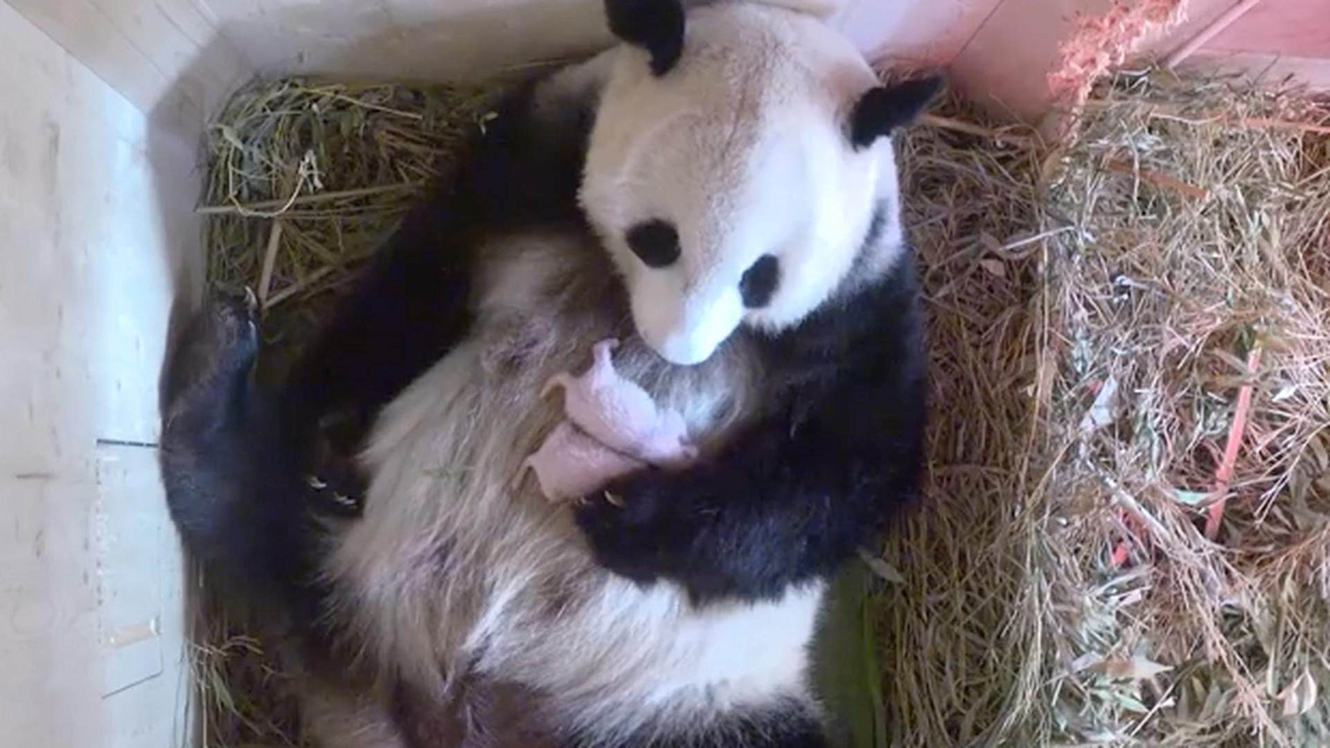 ba7585572 Viedenská ZOO sa teší z nového prírastku: Panda porodila dvojičky ...