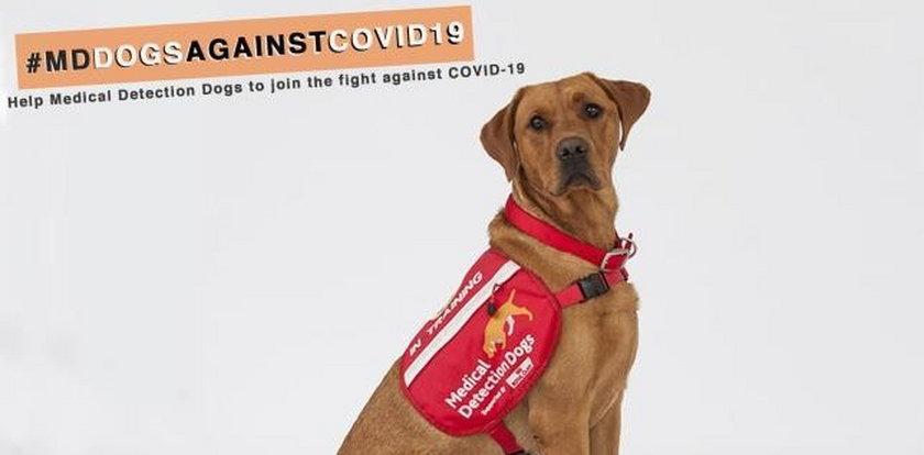 Wyszkolą psy do wykrywania koronawirusa? Sensacyjny pomysł