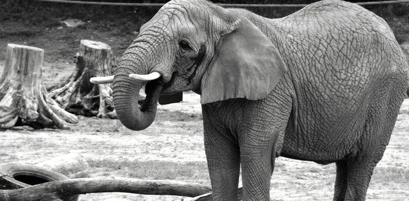 Tragiczne wieści z poznańskiego zoo. Nie żyje słonica Linda
