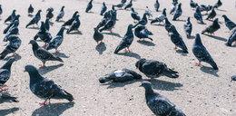Dziesiątki martwych ptaków w Pabianicach. Makabryczna zagadka rozwiązana