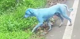 Niebieskie psy biegają po ulicach. Czy człowiek też jest zagrożony?