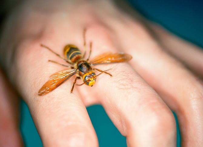 Od svih insekata, stršljen većinu najviše plaši