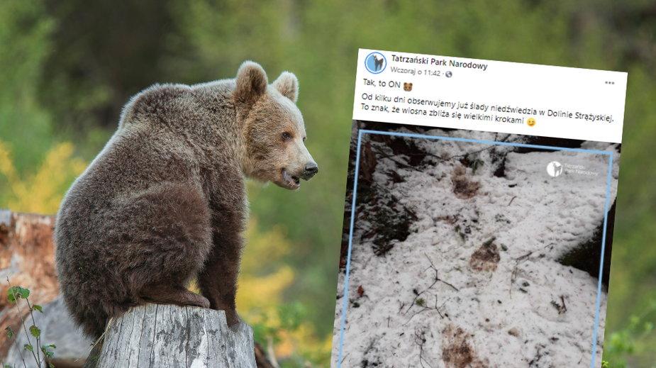 Niedźwiedź w Tatrach obudził się ze snu zimowego