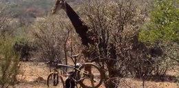 Wściekła żyrafa... zdeptała turyście rower!
