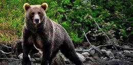 Ataki niedźwiedzi. Drwal bronił się piłą, grzybiarka uciekła na drzewo