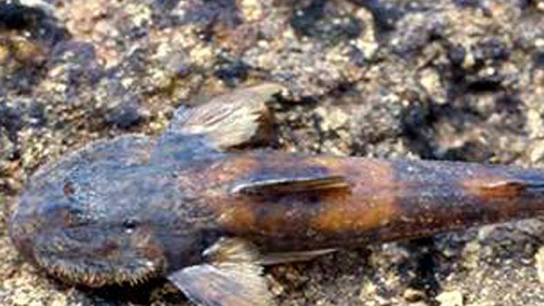Odkryli rybę, która lubi wspinaczki