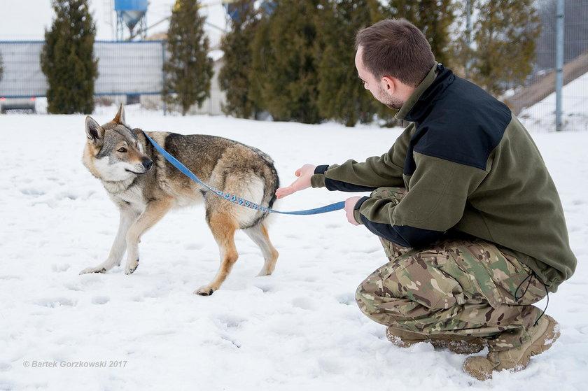 Wilk grasujący nad Zalewem Zemborzyckim okazał się psem