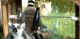 Lemury dostały tajemniczą skrzynię. FILM
