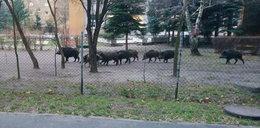 Dziki wtargnęły do przedszkolnego ogródka! Jeden był agresywny, wezwano łowczego