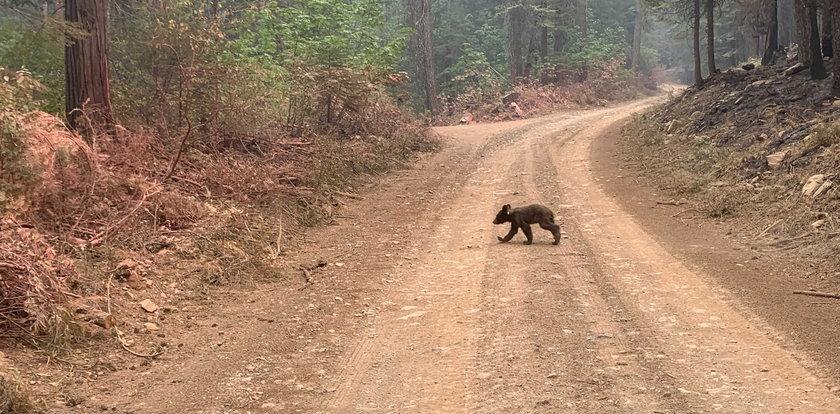 Czemu ten niedźwiadek wędruje samotnie? Prawda chwyta za serce