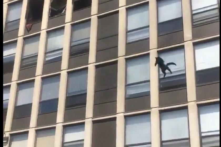Chicago. Podczas pożaru kot skoczył z piątego piętra, żeby ratować swoje życie
