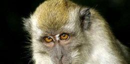 Tak dręczyli małpkę, że aż odgryzła sobie ogon!