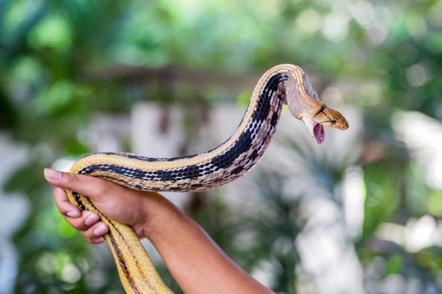Pokazy na farmie węży w Bangkoku