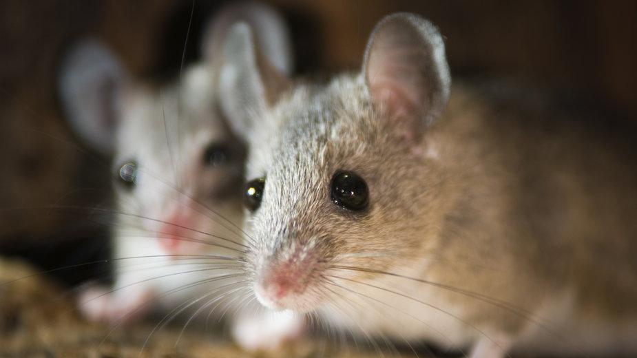 Plaga myszy w Australii. Myszy spadające z nieba