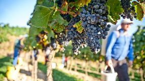 Globalne ocieplenie ma wpływ na wino i termin winobrania