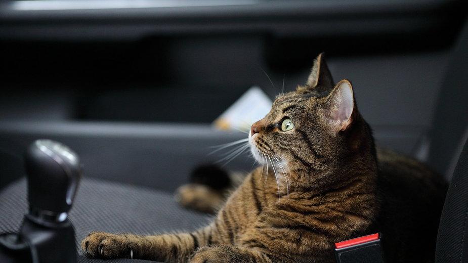 Jak przewieźć kota w samochodzie? - Raindom/pixabay.com