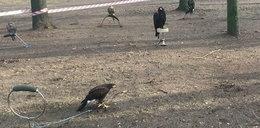 Drapieżne ptaki na uwięzi. Co się stało w Radomsku?