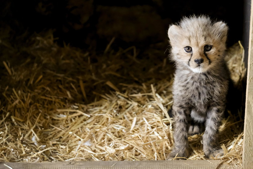 Śląski Ogród Zoologiczny. Narodziny gepardów