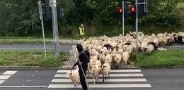 Musisz to zobaczyć! Tłum owiec przeszedł na czerwonym