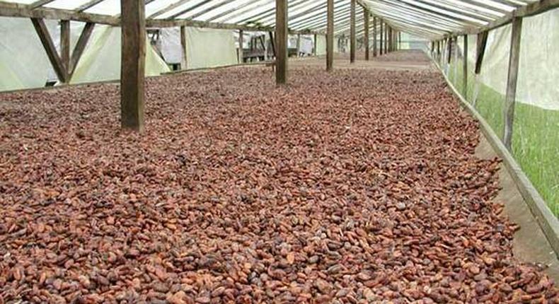 Cocoa beans sun-dried
