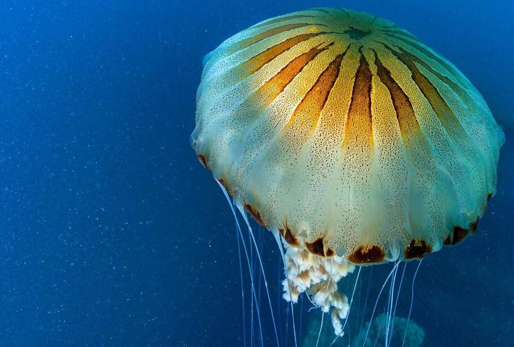 kompas meduza