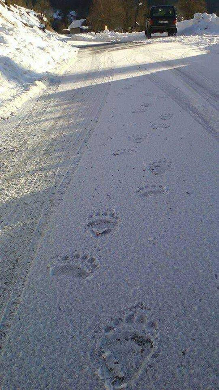 Tragovi medveda koji je prošao putem