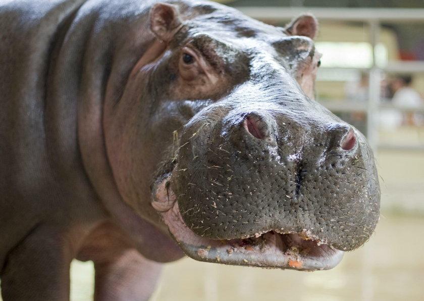 Chorzów. Brakuje hipopotamów w ogrodzie zoologicznym