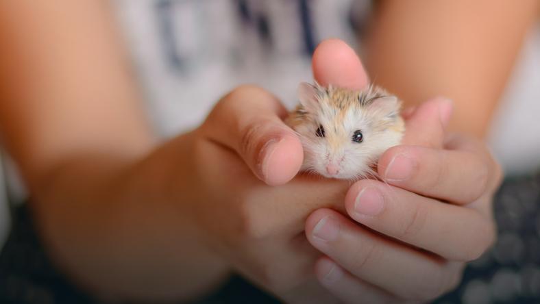 Chomik - jedno z ulubionych wśród dzieci małych zwierząt domowych