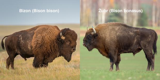 Czym sie różni bizon od żubra?