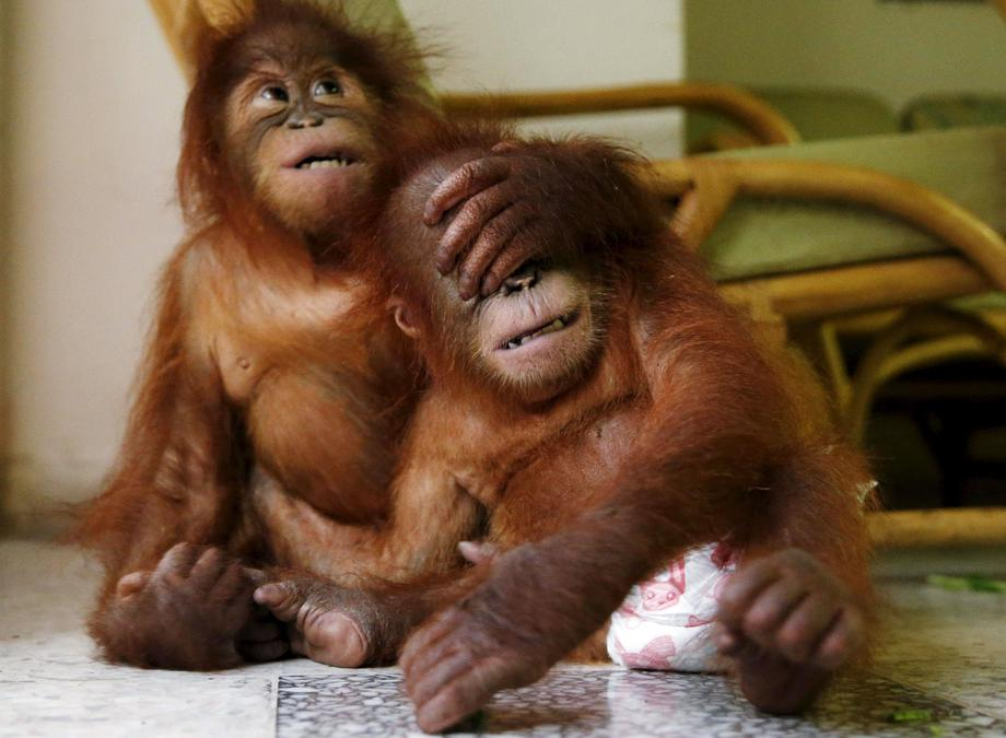 Two baby orangutans play with each other at the wildlife department in Kuala Lumpur