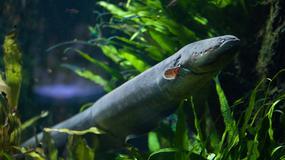 Elektryzująca ryba, która zszkowała badaczy