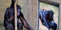 Porno? Co oglądają szympansy?