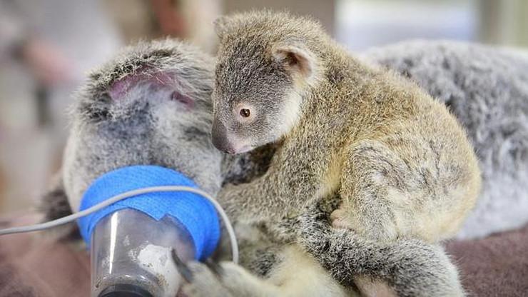625124_koala-02-foto-australia-zoo