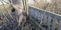 Kolejny owczarek znaleziony na Zagrodowej. Wisiał martwy na gałęzi