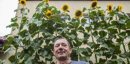 Nie zgadniesz, ile metrów mają słoneczniki pana Romana!
