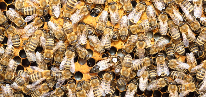 Pół miliona pszczół zginęło w samochodzie firmy kurierskiej. Kto zawinił?