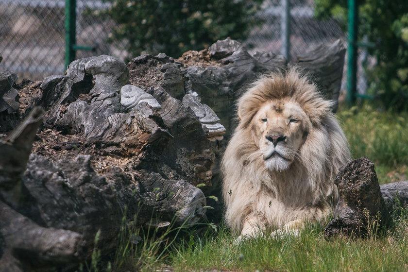 W Świerkocinie urodził się biały lew Kubuś