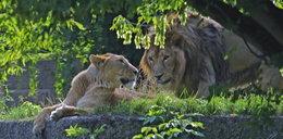 To Loki i Shiva z ZOO w Łodzi. Będzie rodzina lwów azjatyckich? Jest nadzieja, bo samiec kruszy lody...