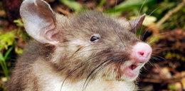 Szczur z nosem świni i zębami wampira