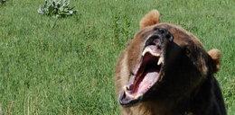 Niedźwiedź zasmakował ludzkiej krwi i będzie zabijał