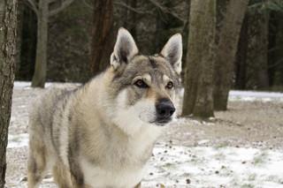 W Polsce żyje ponad 0,5 miliona zdziczałych psów. Powodują szkody