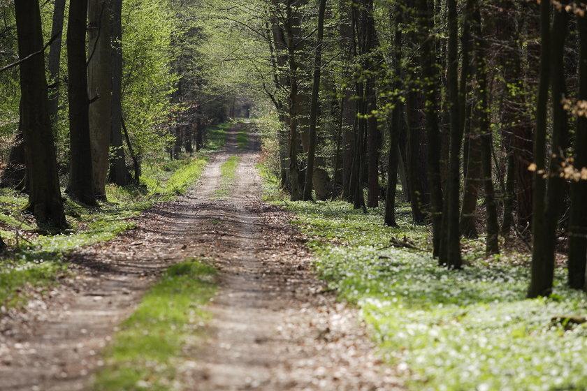 Lasy Państwowe. Nadleśniczy zarabiają więcej niż premier