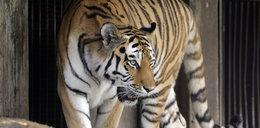 Rzuciła się na tygrysa z kijem. Cudem uszła z życiem