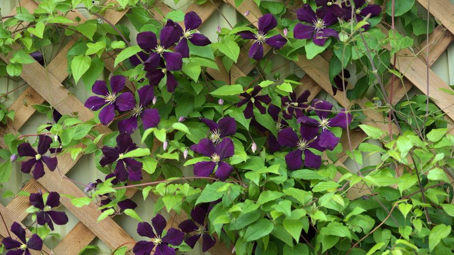 Trejaże doskonale sprawdzają się do roślin pnących - KaeC'sImages/stock.adobe.com