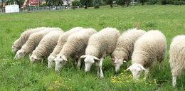Co one tu robią? Owce pojawiły się w Lublinie