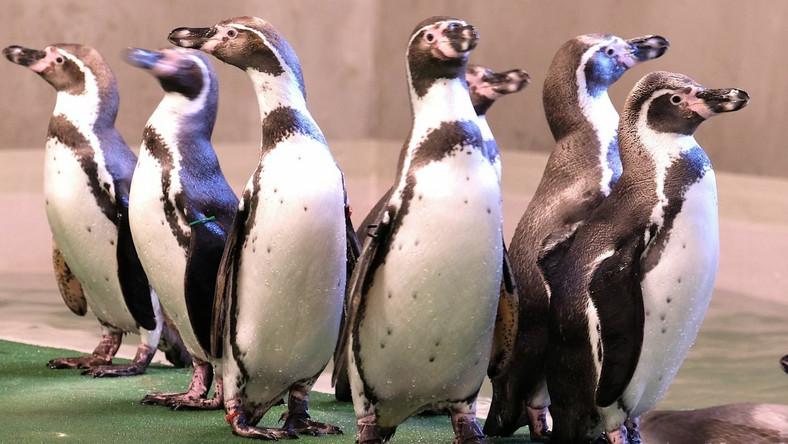 Pingwiny w śląskim zoo