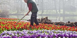 Będzie tulipan imienia Komorowskiej