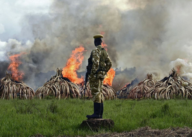 A Kenya Wildlife Services (KWS) officer stands near a burning pile of 15 tonnes of elephant ivory seized in kenya at Nairobi National Park.